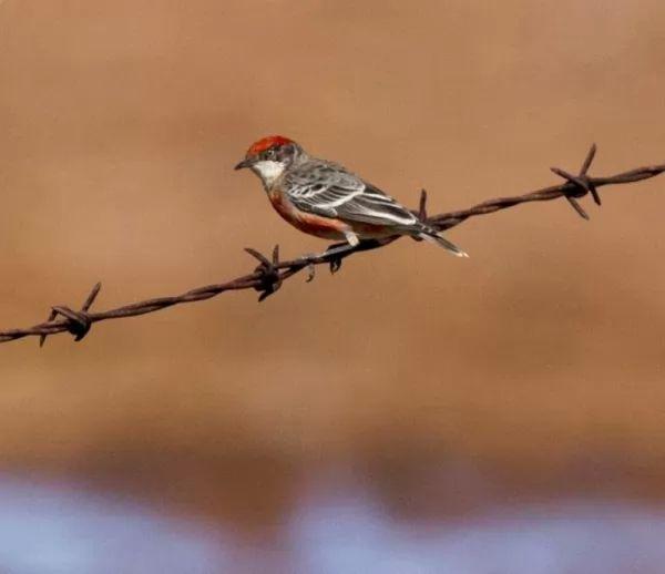 العصفور القرمزي من اجمل العصافير في العالم