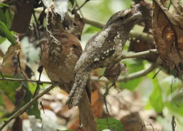 طائر فم الضفدع السريلانكي من اغرب الطيور فى العالم