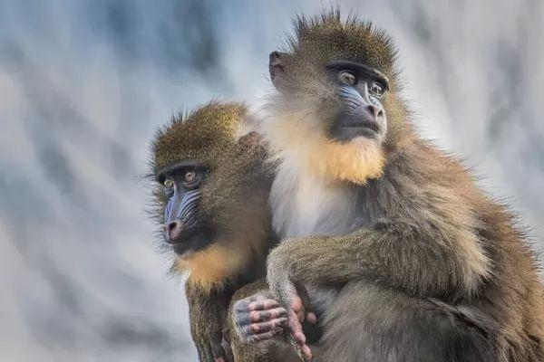 الميمون من الحيوانات الغريبة في افريقيا