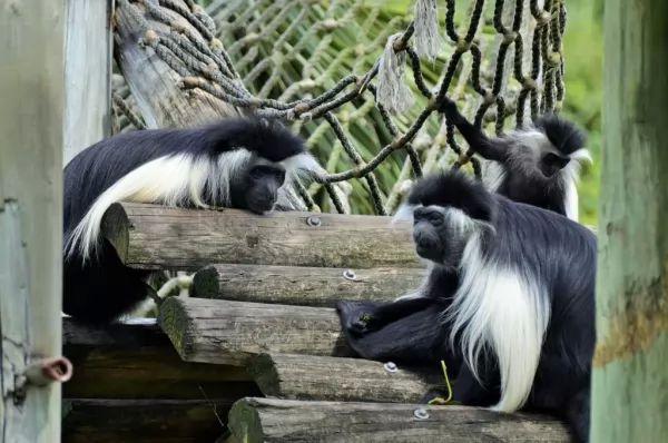 كولبس أبلق من الحيوانات الغريبة في افريقيا