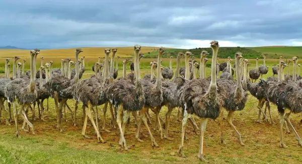 النعام من الحيوانات الغريبة في افريقيا