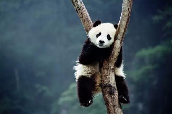 دب الباندا فوق الاشجار