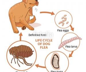 دورة حياة البراغيث معقدة إلى حد ما، وفهم مراحل التطور المختلفة للبراغيث سيجعل من السهل التخلص منها، والبراغيث هي الحشرات التي تجعل الحيوانات الاليفة ...