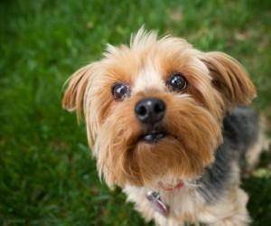 الكلاب الصغيرة تعتبر من انواع الكلاب المفضلة لدى الكثير من محبى الكلاب فى العالم ، ولها شعبية كبيرة وذلك لعدة أسباب ، منها لانها كلاب صغيرة