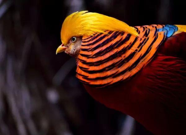 طائر الدراج الذهبي من اجمل الطيور في العالم