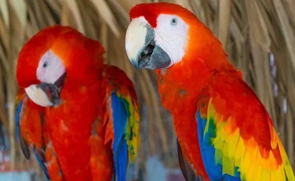 ببغاء المكاو القرمزي من اجمل الطيور في العالم