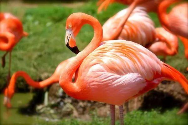 طائر الفلامنجو من اجمل الطيور في العالم