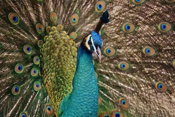 طائر الطاووس من اجمل الطيور في العالم