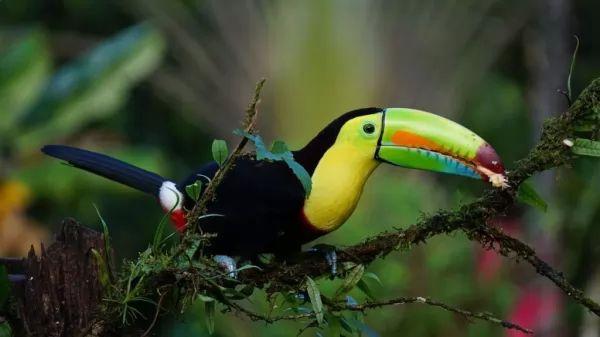 طائر الطوقان الكبريتي من اجمل الطيور في العالم