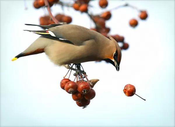 الطائر الشمعي الجناح من اجمل الطيور في العالم