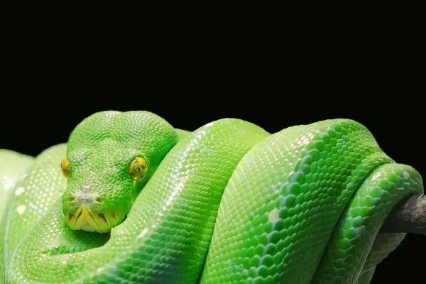 ثعبان الشجرة الخضراء من اجمل الثعابين في العالم