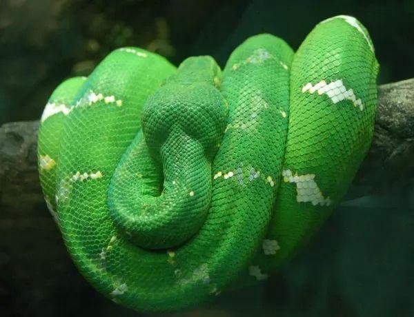 ثعبان شجرة الزمرد بوا من اجمل الثعابين في العالم