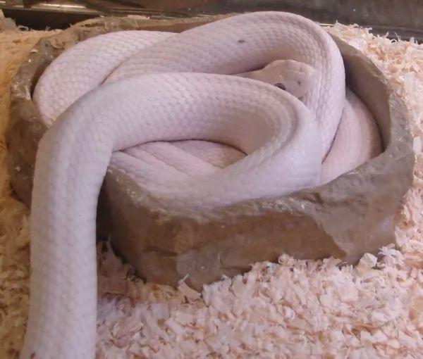 ثعبان ليوسيستيك تكساس الجرذ من اجمل الثعابين في العالم