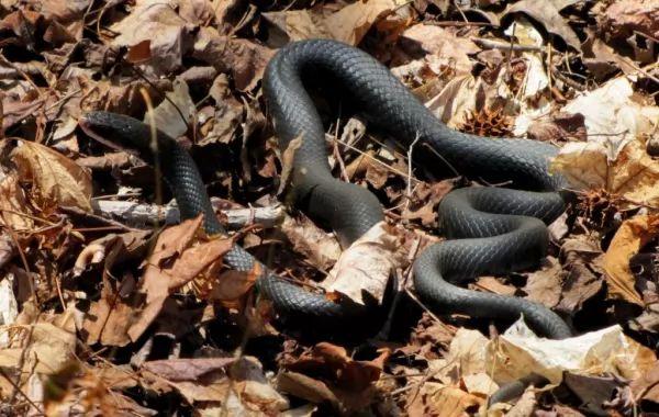 افعي الجرذ النيلية الشرقية من اجمل الثعابين في العالم