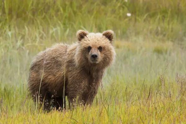 حيوان الدب من الحيوانات الانفرادية