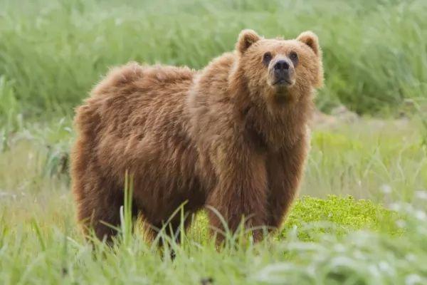 اسم الدب بالانجليزية مشتق من كلمة بني بالالمانية