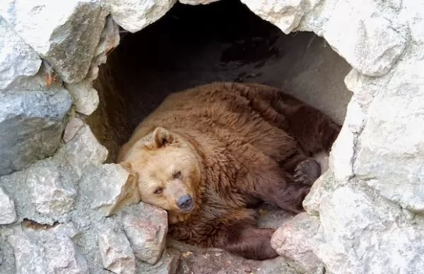 الدب يدخل في السبات في الشتاء