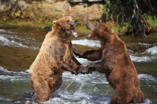 الدب احد الحيوانات صاحبة الصوت العالي