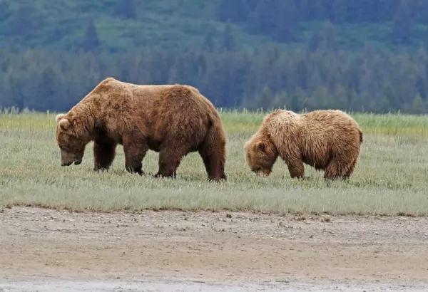 يوجد اختلافات كبيرة بين ذكر وانثى الدب