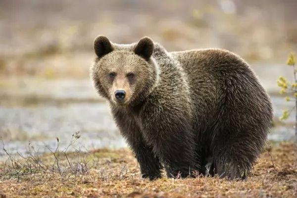 الدب لا يصلح كحيوان مستأنس او اليف