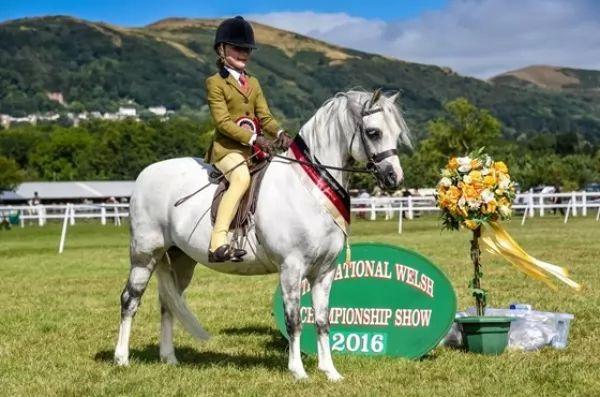 من انواع الخيول المناسبة للاطفال الحصان السيسي الويلزي