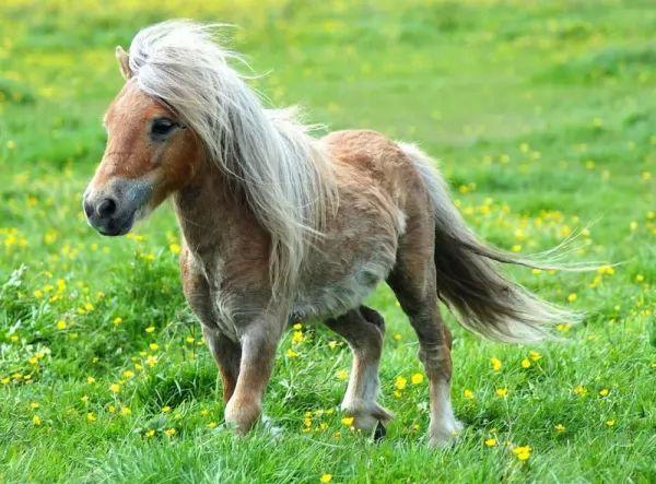 من انواع الخيول المناسبة للاطفال الحصان القزم
