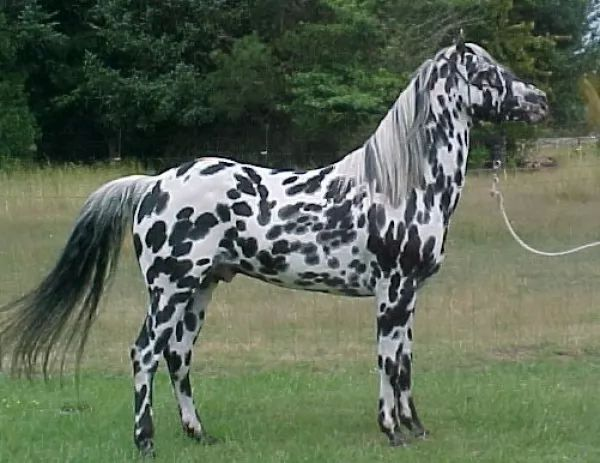 من انواع الخيول المناسبة للاطفال حصان الابالوزا