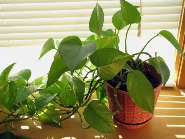 من النباتات المنزلية الداخلية البوتس الذهبي Plants-indoor_10055_6_1510395266