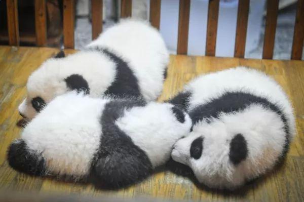 صغار الباندا من الطف صغار الحيوانات