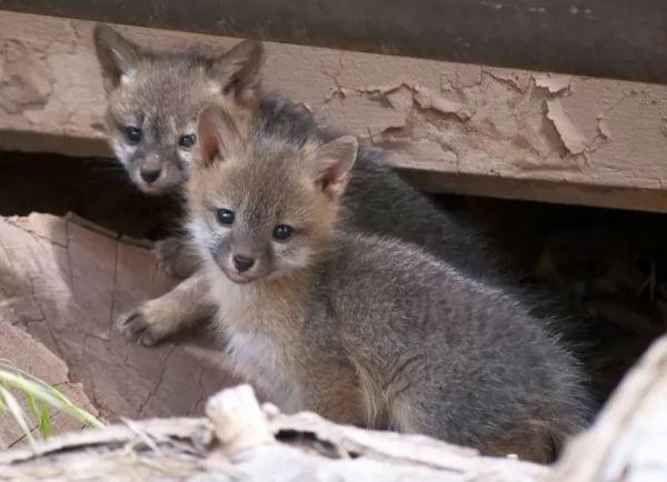 صغار الثعلب من الطف صغار الحيوانات