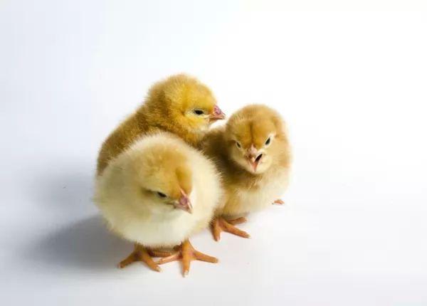 صغار الدجاج من الطف صغار الحيوانات