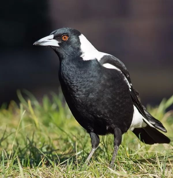 facts-about-magpie_1