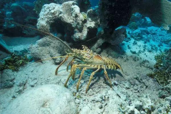 سرطان البحر لا يمتلك مخالب