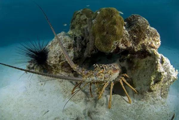 سرطان البحر من سكان قاع المحيطات
