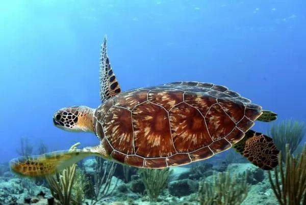 السلاحف البحرية تطورت للسباحة