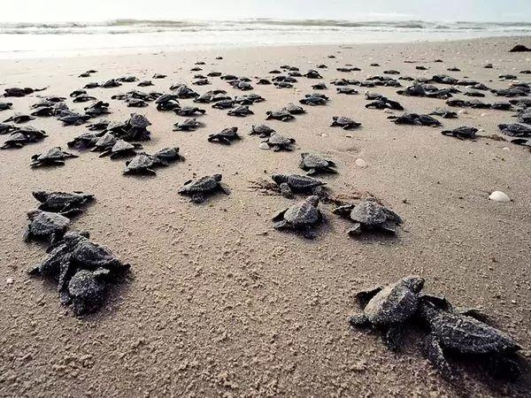 السلاحف البحرية تضع بيضها على الشواطئ