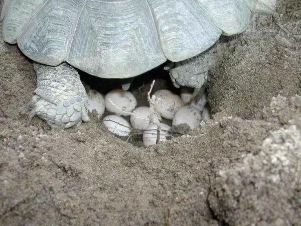 جنس السلاحف البحرية يتحدد من درجة حرارة العش