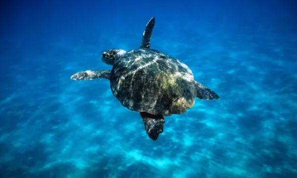 السلاحف البحرية من الحيوانات المهاجرة