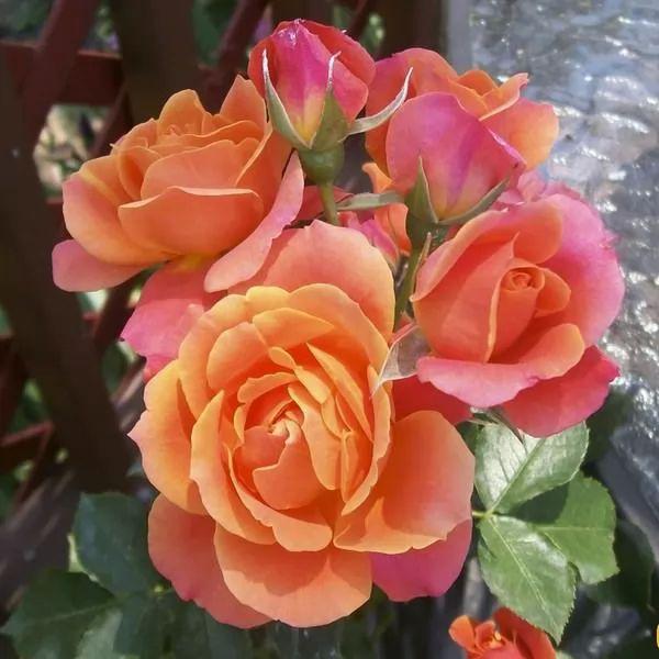 نتيجة بحث الصور عن صور اجمل الورود