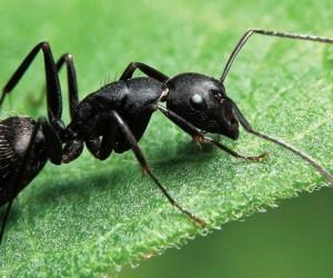 النمل هي المخلوقات الصغيرة التي يمكن العثور عليها بسهولة حول الأشياء الحلوة، والنمل ينتمي إلى مجموعة الدبابير، وهذه المخلوقات الصغيرة تتجمع حول ...