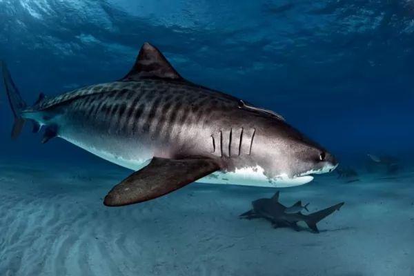 من اسرع الاسماك في العالم القرش النمر