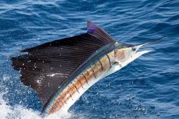 من اسرع الاسماك في العالم سمكة ابو شراع