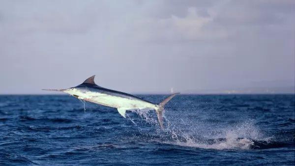 من اسرع الاسماك في العالم سمك المارلين