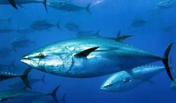 من اسرع الاسماك في العالم التونة ذات الزعنفة الزرقاء