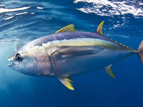من اسرع الاسماك في العالم التونة ذات الزعنفة الصفراء