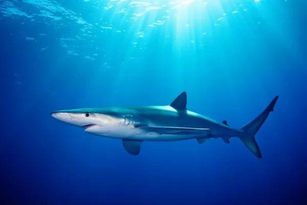 من اسرع الاسماك في العالم القرش الازرق