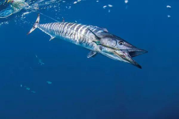 من اسرع الاسماك في العالم سمك الدراك