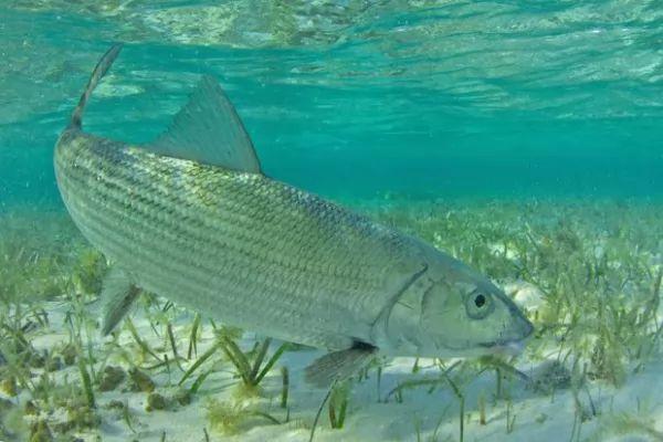 من اسرع الاسماك في العالم سمكة العظم