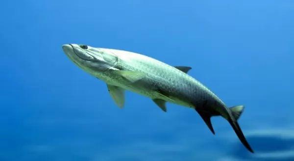 من اسرع الاسماك في العالم سمكة التربون
