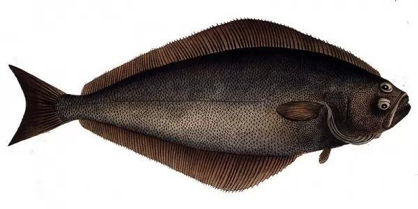 شكل وصفات سمك الهلبوت